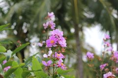 Une belle fleur rose unplucked images stock