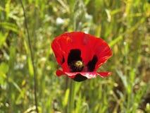Une belle fleur sauvage rouge en gorge d'Erevan photos libres de droits