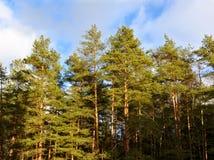 Une belle forêt de pin Image libre de droits