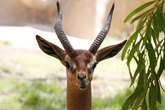 Une belle gazelle Photos stock