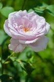 Une belle grande rose de pourpre se développe dans le jardin dans l'a frais Photos stock