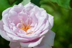 Une belle grande rose de pourpre se développe dans le jardin dans l'a frais Image libre de droits