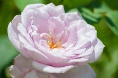Une belle grande rose de pourpre se développe dans le jardin dans l'a frais Images stock