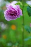 Une belle grande rose de pourpre se développe dans le jardin dans l'a frais Photographie stock libre de droits