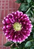 Une belle image de fleur de dahlia images libres de droits