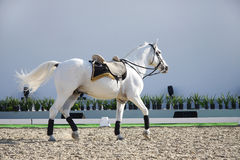 Une belle marche de cheval blanc Photos stock