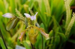 Une belle orchidée brune et verte Image libre de droits