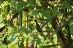 Une belle paire de jaune-gonflé et x28 ; olive-backed& x29 ; sunbirds, étés perché dans un arbre thaïlandais de parc de jardin Photos stock