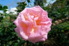 Une belle petite rose seule de rose Image libre de droits