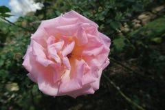 Une belle petite rose seule de rose Photos stock