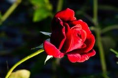 Une belle rose de rouge montre sa beauté Photo stock