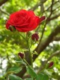Une belle rose rouge avec des bourgeons fleurissant dans le jardin un jour ensoleillé images libres de droits