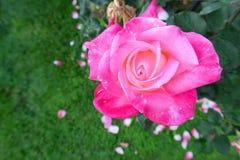 Une belle rose simple de rose dans la lumière Image stock
