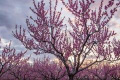 Une belle roseraie fleurissante des pêchers et d'un coucher du soleil lumineux Photographie stock libre de droits