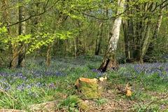 Une belle scène de région boisée avec un tapis des jacinthes des bois photos stock