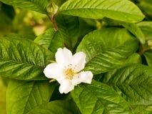 Une belle tête de fleur blanche de fleur sur un arbre dehors avec le vert Photos stock
