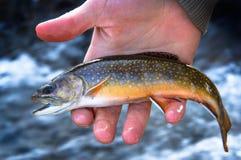 Une belle truite de ruisseau juvénile image libre de droits