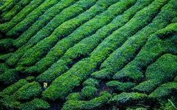 Une belle vue à la plantation de thé en Cameron Highland Image libre de droits