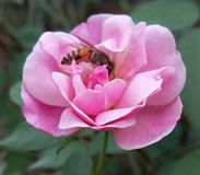 Une bonne amitié entre l'abd rose voient Image stock