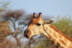 Une bonne de repas giraffe en effet - Image stock