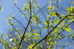 Une branche avec de jeunes feuilles Images stock
