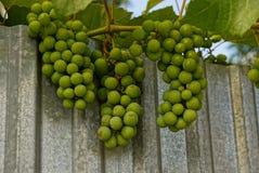 Une branche avec trois groupes de raisins verts sur une barrière de fer Image libre de droits