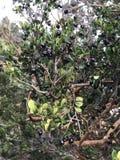 Une branche d'apiculata de Luma et de x28 ; Myrtle& chilien x29 ; complètement des baies noires Photos libres de droits