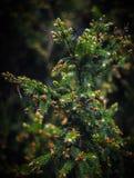 Une branche d'arbre de sapin avec les cônes de floraison Images stock