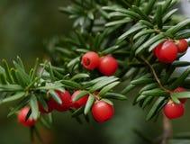 Une branche d'un arbre d'if avec les baies rouges photos stock