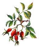 Une branche de Briar rose de chien avec les baies et les feuilles rouges de vert illustration libre de droits
