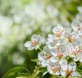 Une branche de floraison de pommier au printemps Photo stock