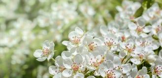 Une branche de floraison de pommier au printemps Photographie stock