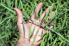 Une branche de graine de colza dans la main du ` s d'agriculteur dans la perspective du champ photo libre de droits