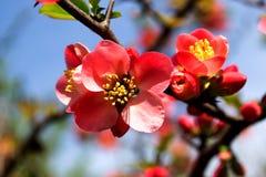 Une branche de l'arbre de floraison avec les fleurs roses Image stock