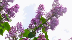 Une branche de lilas contre le ciel banque de vidéos