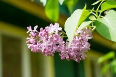 Une branche de lilas, d'arbuste eurasien ou de petit arbre, avec les fleurs violettes, roses, ou blanches parfumées Photographie stock libre de droits