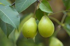Une branche de poirier avec des fruits là-dessus photos libres de droits