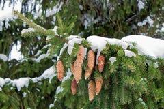 Une branche de sapin avec des cônes de sapin couverts de neige après une neige Images libres de droits