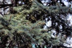 Une branche de sapin bleu Photographie stock libre de droits