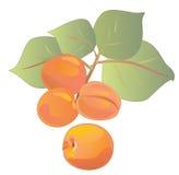 Une branche des abricots mûrs illustration stock