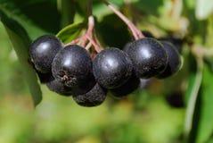 Une branche des baies mûres d'un chokeberry. Images libres de droits