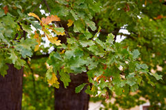 Une branche des feuilles de chêne Photographie stock libre de droits