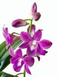 Une branche des fleurs et des bourgeons d'orchidée d'écarlate d'isolement sur le Ba blanc Images libres de droits