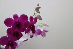 Une branche des fleurs pourpres d'orchid?e sur le mur blanc photographie stock libre de droits