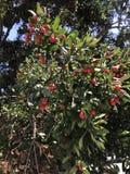 Une branche des fragrans de Myrcianthes d'arbre de bouchon du ` s de Simpson Images stock