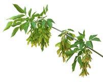 Une branche des graines et des feuilles d'érable, d'isolement Image libre de droits