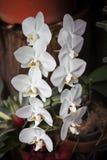 Une branche des orchidées avec un bon nombre de fleurs blanches avec les langues jaunes Photos libres de droits