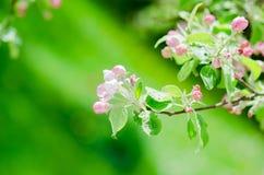 Une branche des pommiers de floraison dans le printemps, plan rapproché Image stock
