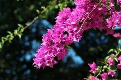 Une branche fleurissante de bouganvillée Image libre de droits