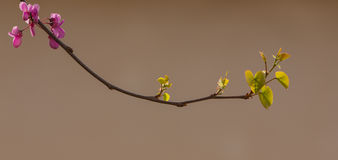 Une branche fleurissante de Judas Tree Images libres de droits